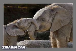z_gajah